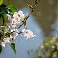 池とソメイヨシノ(1)