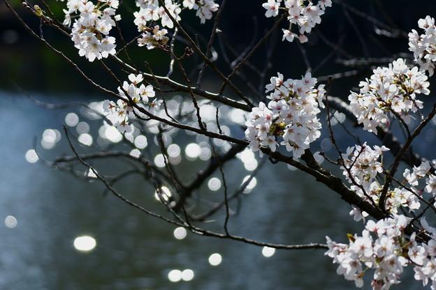 池とソメイヨシノ(2)