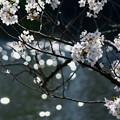 Photos: 池とソメイヨシノ(2)