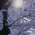 Photos: 満開のソメイヨシノ