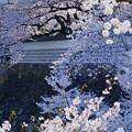 なまこ塀と桜
