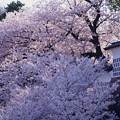 石川門 なまこ塀から 満開のソメイヨシノ