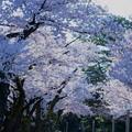 Photos: 金沢城公園 桜