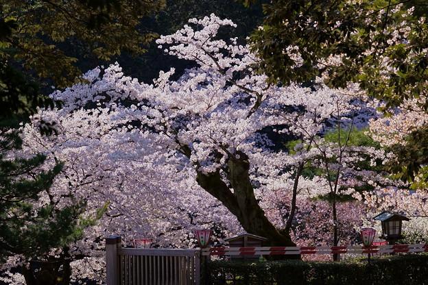Photos: 兼六園 門の外の満開の桜