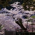 兼六園 門の外の満開の桜
