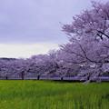 菜の花と桜並木