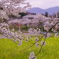 菜の花と桜(1)