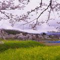 菜の花と桜(2)