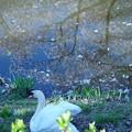 桜散る池 白鳥