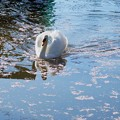 Photos: 桜散る池
