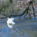 Photos: 桜 散る