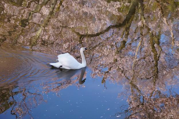 Photos: 桜の池で