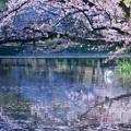 桜の下で  白鳥さんの散歩