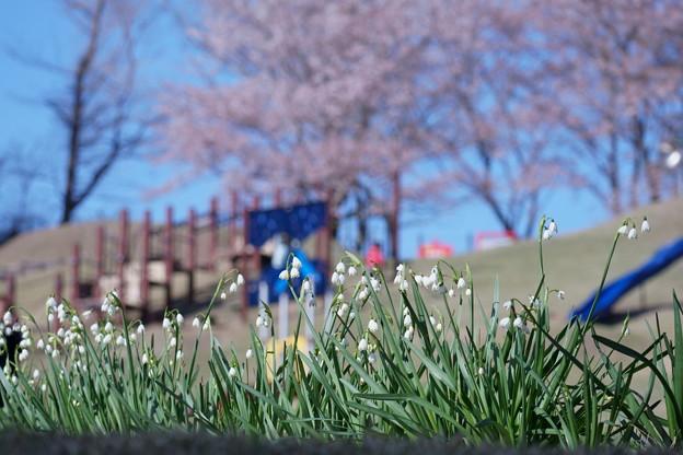 Photos: スノーフレークと桜 (わんぱく広場)