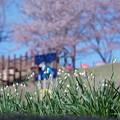 スノーフレークと桜 (わんぱく広場)