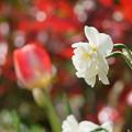 Photos: チューリップと八重の水仙