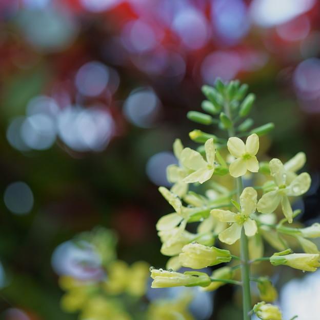 ハボタンの花