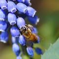 ムスカリ ミツバチ