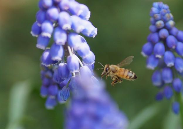 ムスカリにミツバチくん(1)