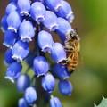 ムスカリにミツバチくん(2)