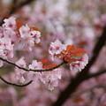 Photos: ☆兼六園熊谷桜
