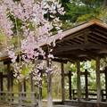枝垂れ桜 舟の御亭