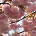 Photos: 八重桜(1)