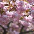 八重桜(2)