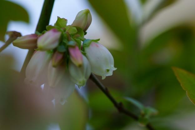 ブルーベリーの花(2)