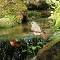 オオルリ ♀(1)