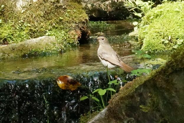 オオルリ ♀(2)