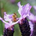 ラベンダーにミツバチ君(1)