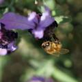 ラベンダーにミツバチ君(2)