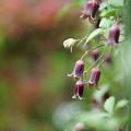 高野ハンショウヅル(ベル咲きクレマチス) 2
