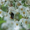 エゴノキの花に蜂さん