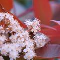 Photos: レッドロビンの花