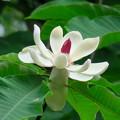 ホオノキの花(1) 大きな花と葉