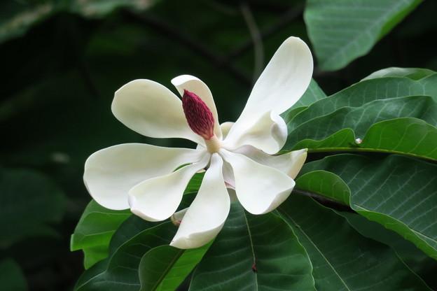 ホオノキの花(2)