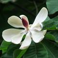 Photos: ホオノキの花(2)