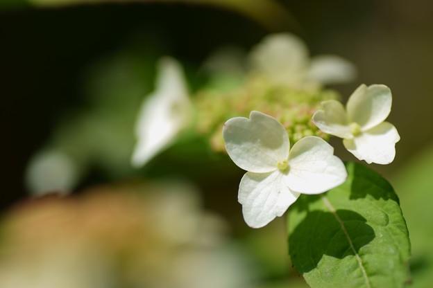 ヤマアジサイ・クレナイ(紅)2  開花し始めは白です^^