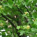 Photos: ユリノキの花