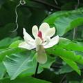 Photos: ホオノキの花(3)
