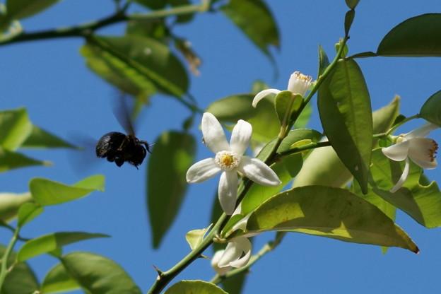 スダチの花に蜂くん