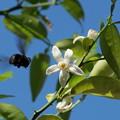 Photos: スダチの花に蜂くん