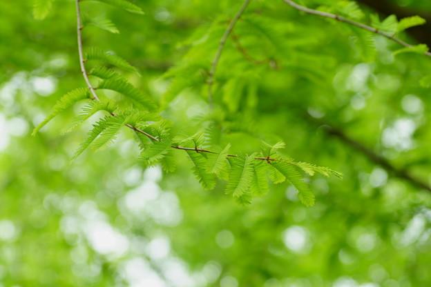 新緑のメタセコイア(1)