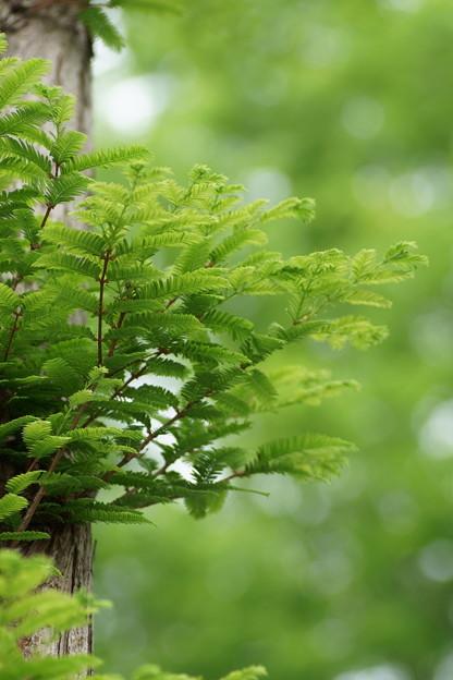 新緑のメタセコイア(2)