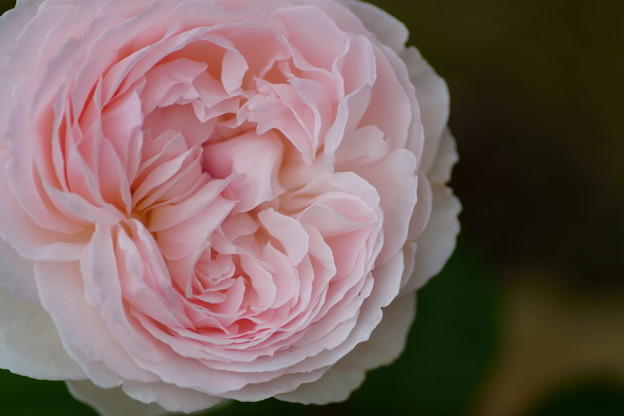 豪華な薔薇 鏡花
