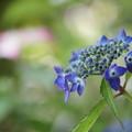 ヤマアジサイ 藍姫