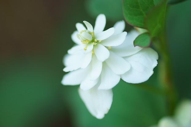 白雪姫 (・・?  八重のドクダミ(3)