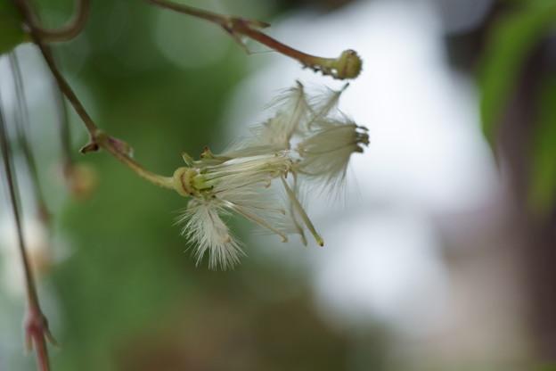 ベル咲きクレマチス 綿毛